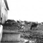 Short Horn Cows, Pop Trant Farm, 1943